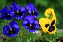 Blauwe en gele viooltjes Stock Afbeeldingen