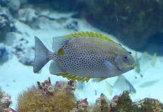 Blauwe en gele vissen Royalty-vrije Stock Afbeeldingen