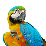 Blauwe en Gouden Ara Royalty-vrije Stock Fotografie