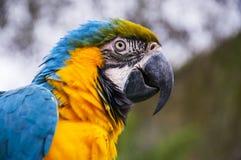 Blauwe en Gouden Ara Stock Fotografie
