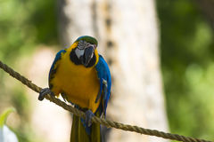 Blauwe en Gouden Ara Royalty-vrije Stock Foto