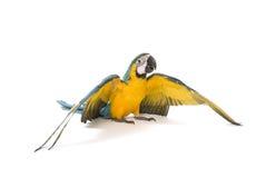 Blauwe en Gouden Ara die zijn vleugels uitspreiden Royalty-vrije Stock Foto's