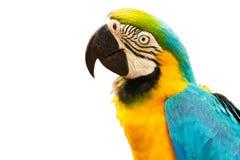 Blauwe en gouden die aravogel op witte achtergrond wordt geïsoleerd Stock Afbeeldingen