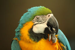 Blauwe en Gouden Kaketoe Royalty-vrije Stock Afbeeldingen