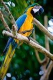 Blauwe en gouden scharlaken ara Stock Afbeelding