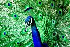 Blauwe en groene pauw Stock Afbeelding