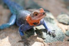 Blauwe en oranje agama hagedis Stock Afbeeldingen