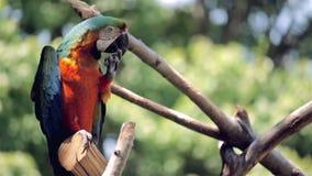 Blauwe en oranje ara stock videobeelden