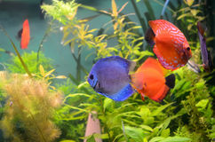 Blauwe en oranje discusvissen Royalty-vrije Stock Foto's