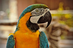 Blauwe en oranje papegaai Royalty-vrije Stock Afbeeldingen