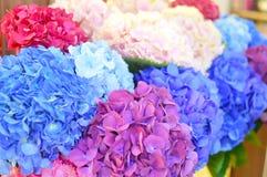 Blauwe en roze bloemen van hydrangea hortensiaclose-up De natuurlijke hydrangea hortensia bloeit achtergrond stock afbeelding