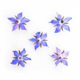 Blauwe en roze boragebloemen Stock Afbeeldingen