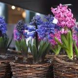 Blauwe en roze hyacint Royalty-vrije Stock Foto's