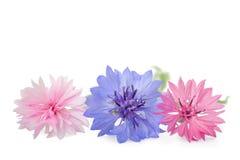 Blauwe en roze korenbloemen stock foto's