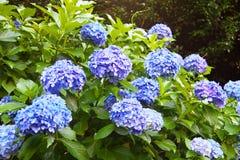 Blauwe en violette hydrangea hortensiabloemen royalty-vrije stock afbeeldingen