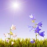 Blauwe en witte bellflowers background_3 Stock Foto