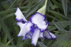 Blauwe en witte bloem Stock Afbeeldingen