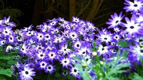 Blauwe en witte cinerariabloemen Royalty-vrije Stock Foto's