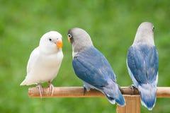 Blauwe en witte dwergpapegaai die zich op de toppositie bevinden royalty-vrije stock afbeeldingen