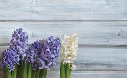 Blauwe en Witte Hyacinten Stock Afbeelding