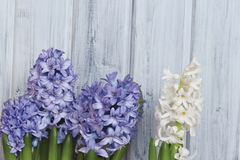 Blauwe en Witte Hyacinten Royalty-vrije Stock Foto