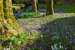 Blauwe en Witte Krokussen stock afbeelding