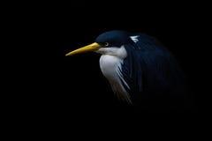 Blauwe en witte riviervogel met gele bek Royalty-vrije Stock Afbeeldingen