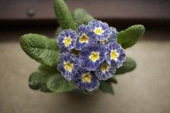 Blauwe en witte sleutelbloem Royalty-vrije Stock Fotografie