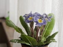 Blauwe en witte sleutelbloem Stock Foto