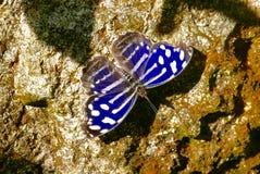 Blauwe en witte vlinder op een rotsachtergrond Stock Afbeelding