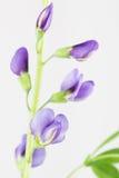 Blauwe erwt-als baptisiabloemen, bladeren en stam Royalty-vrije Stock Foto's