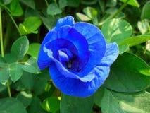 Blauwe erwtenbloem stock afbeeldingen