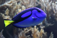Blauwe exotische vissen stock foto's