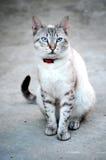 Blauwe Eyed Kat Stock Afbeelding