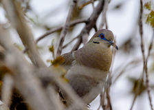 Blauwe eyed whte-Vleugel Duif stock foto's
