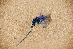 Blauwe Fles - Portugese mens-van-Oorlog Stock Foto