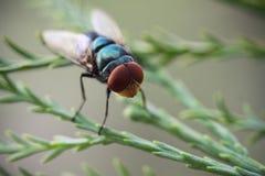Blauwe flessenvlieg Royalty-vrije Stock Afbeeldingen