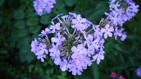 Blauwe Floxbloemen op het close-uphd video statische camera van het bloembed stock footage