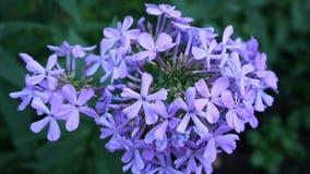 Blauwe Floxbloemen op het close-uphd video statische camera van het bloembed stock video