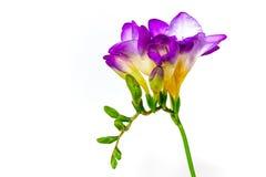 Blauwe fresiabloemen stock afbeeldingen