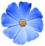 Blauwe geïsoleerde bloemprimula royalty-vrije stock afbeelding