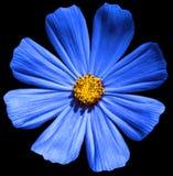 Blauwe geïsoleerde bloemprimula stock fotografie
