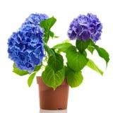 Blauwe Geïsoleerde Hydrangea hortensia Stock Foto