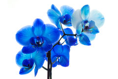 Blauwe geïsoleerde orchidee royalty-vrije stock foto's