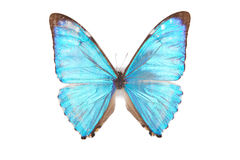 Blauwe geïsoleerdee zephyrius van vlinderMorpho Stock Afbeelding