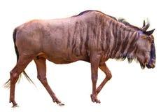 Blauwe ge?soleerde Wildebeest stock afbeelding