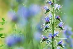 Blauwe gebiedsbloemen Royalty-vrije Stock Afbeeldingen