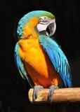 Blauwe geel van de papegaai Royalty-vrije Stock Afbeeldingen