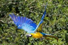 Blauwe gele Ara/Aronskelkenpapegaai tijdens de vlucht Stock Afbeeldingen