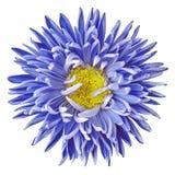 Blauwe gele die asterbloem op een witte achtergrond wordt geïsoleerd royalty-vrije stock fotografie
